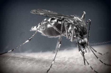 A mosquito is bloated with blood as it inserts its stinger into human flesh in this undated...